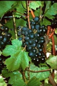 Gamay Noir, the grape of Beaujolais