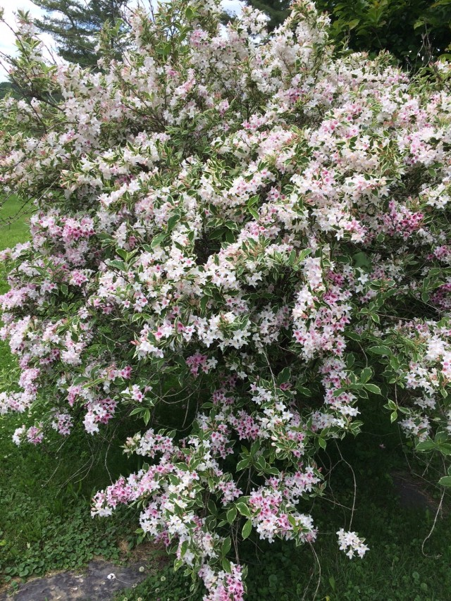 Our Variegated Weigela