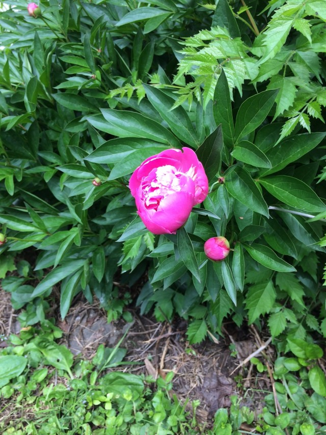 The first peony (much more to come)