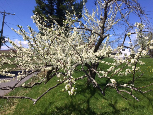 Our plum tree in bloom
