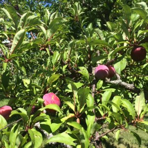 Santa Rosa plums