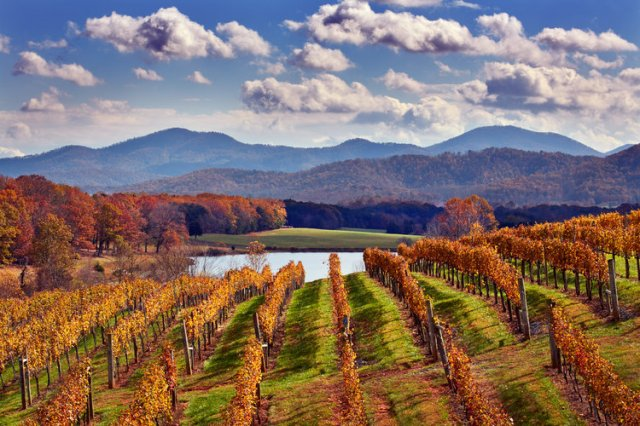 Autumnal Petit Verdot in Afton Mountain Vineyards. Afton, Virginia, USA. [Monticello AVA]